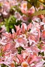Azalea Delicatissima