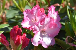 Rhododendron Lem's Monarch