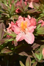 Rhododendron Berryrose