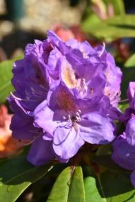 Rhododendron Blutopia