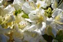 Azalea White Frills