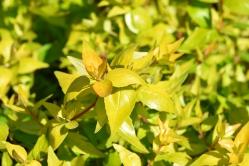 Abelia grandiflora Brockhill Allgold