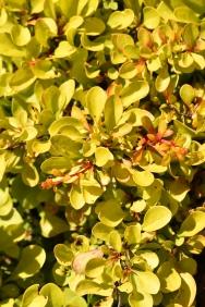 Berberis thunbergii Diabolicum