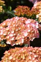 Hydrangea Lisa