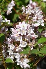 Deutzia x elegantissima Fasciculata