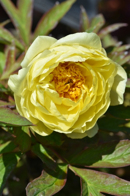 Paeonia suffruticosa High Noon