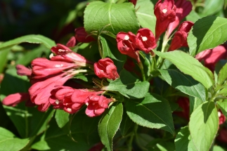Weigela All Summer Red