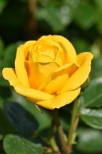 Rose Arthur Bell
