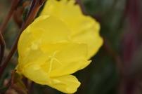 Oenothera Sulphurea