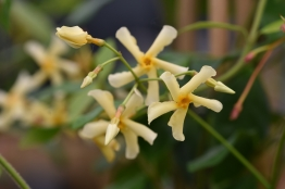 Trachelospermum jasminoides Star of Toscana