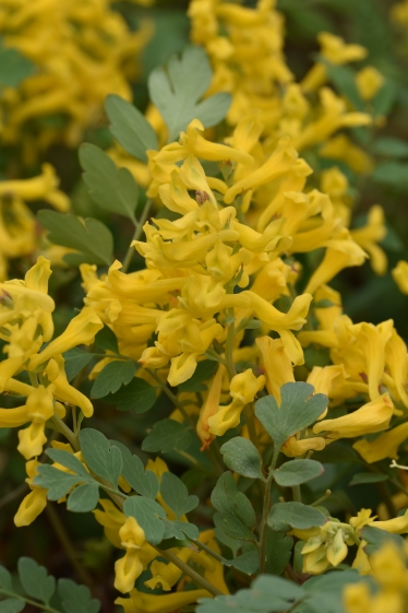 Corydalis Canary Feathers