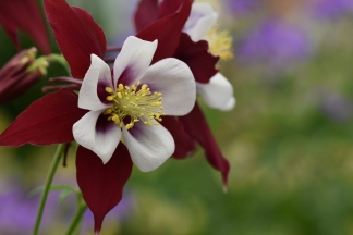 Aquilegia Louisiana