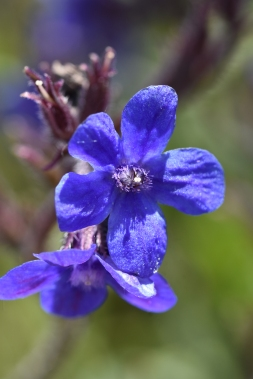 Anchusa Dropmore