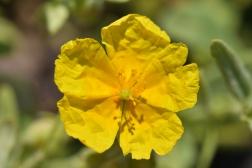 Helianthemum St John's College Yellow