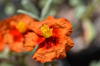 Helianthemum Chocolate Blotch