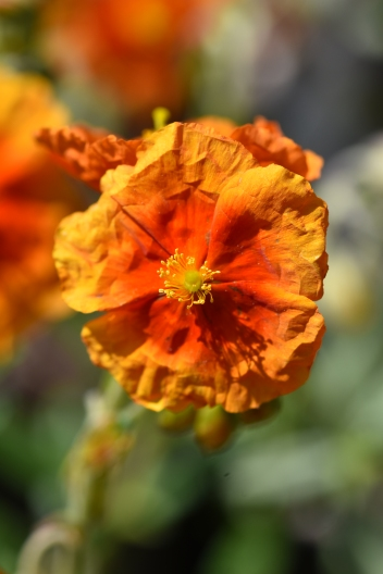 Helianthemum Ben Vane