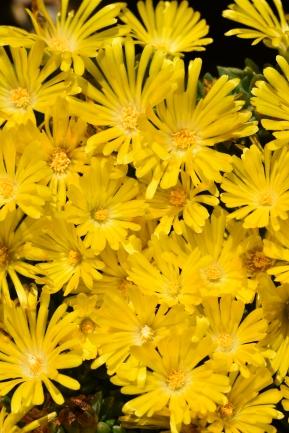 Delopserma congestum Golden Nugget