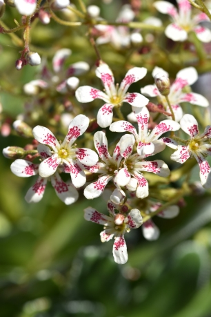 Saxifraga Tumbling Waters