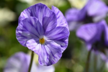 Viola Myfannwy