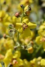 Verbascum Letitia