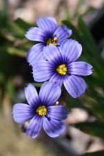 Sisyrinchium Californian Skies