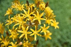 Bloomeria humilis