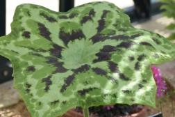 Podophyllum diforme