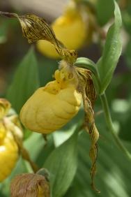 Cyrpripedium parviflorum var pubescens