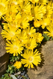 Delosperma congestum Golden Nuggett