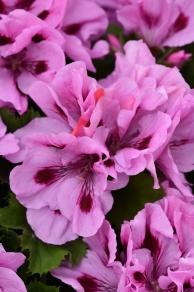 Lavender Grand Slam