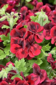 Candy Flowers Dark Red