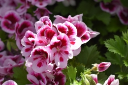 Candy Flowers Bicolor Cambi