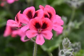 Pink Aurore