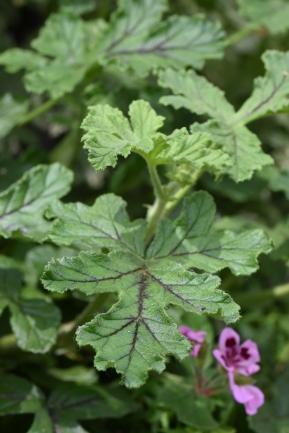 P. quercifolium