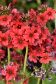 Primula Miller's Ruby