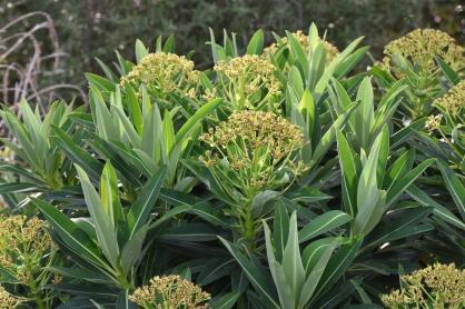 Euphorbia Roundway Titan - honey scented