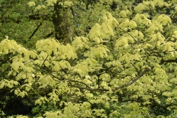 Quercus rubra Aurea (Golden Oak)