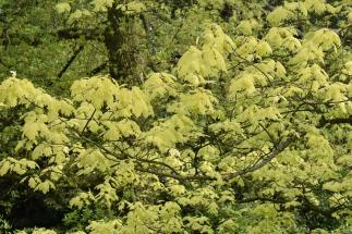 Quercus rubra Aurea (Golden Oak)