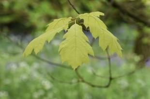 Quercus rubra Aurea