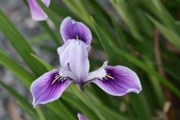 Iris tenax subsp tenax