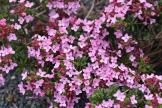 Daphne cneorum var eximea