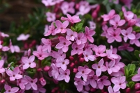 Daphne cneorum var exemea