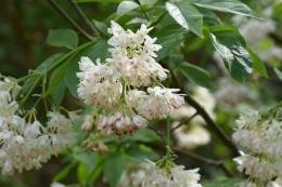 Staphylea colchica
