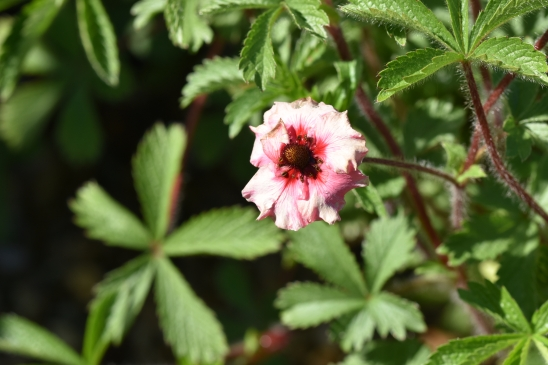 Potentilla nepalensis Miss Willmott