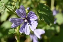 Malva Primley Blue