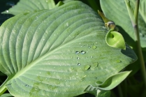 Hosta Prince of Wales