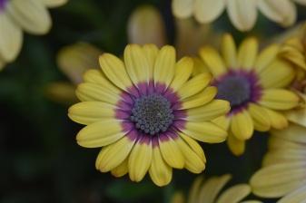 Osteospermum Blue Eyed Beauty