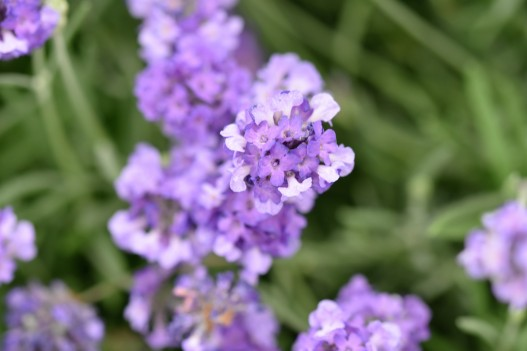 L. angustifolia Miss Muffet (Shlomis) (England, AGM)