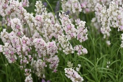Hidcote Pink (England)