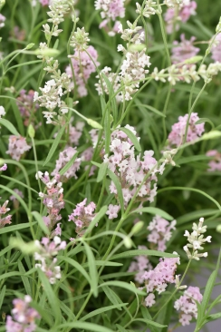 L. angustifolia Lady Ann